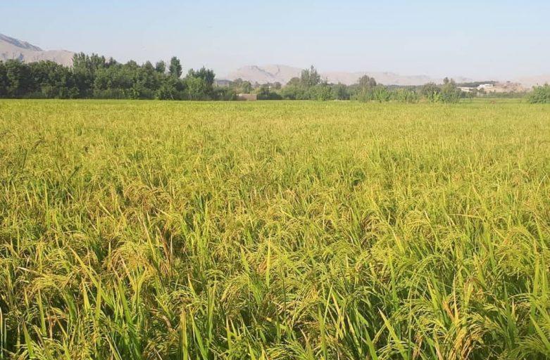 سفارش برنج لنجان