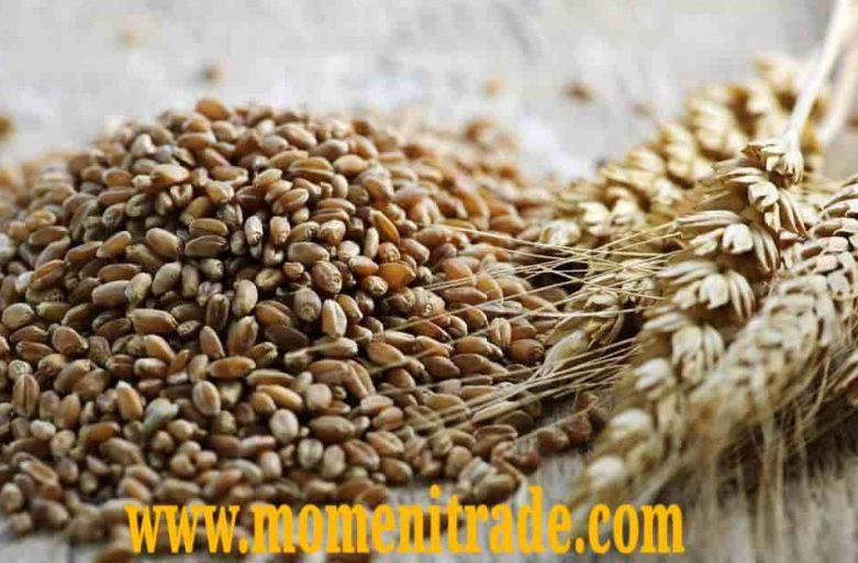 خرید گندم مرغی اصفهان